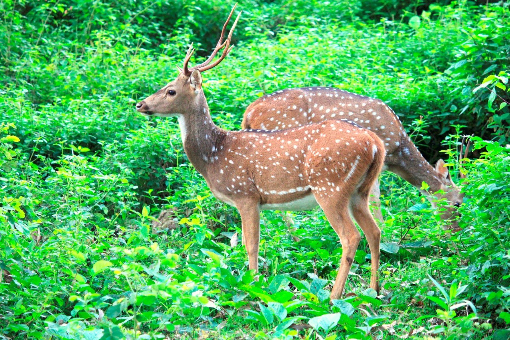 BR hills-Spotted Deer