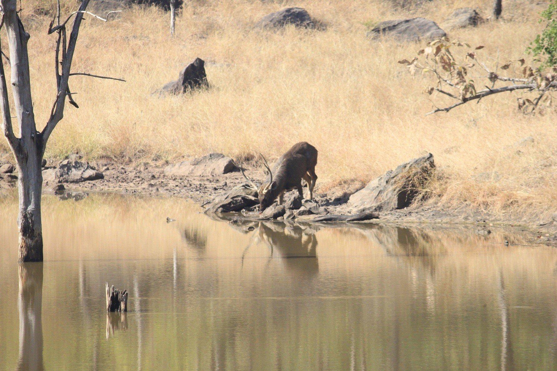 Satpura National Park-Antler Deer