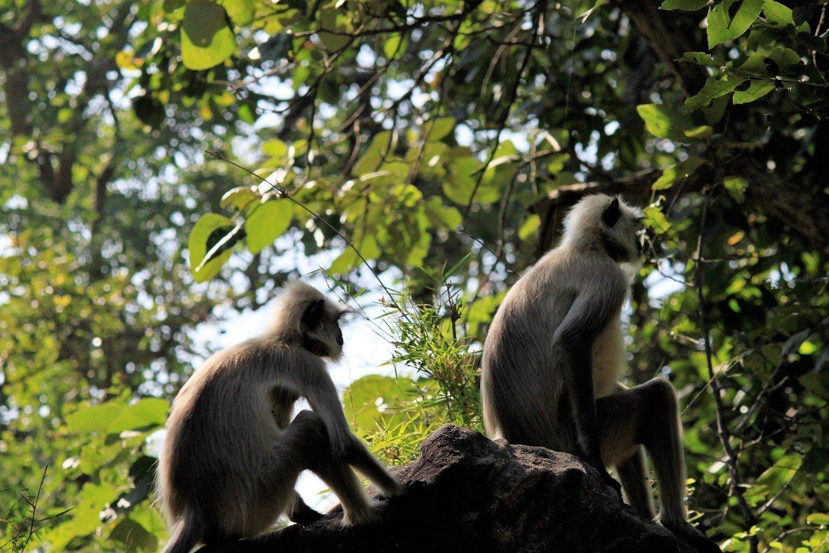 Satpura National Park-Langoor
