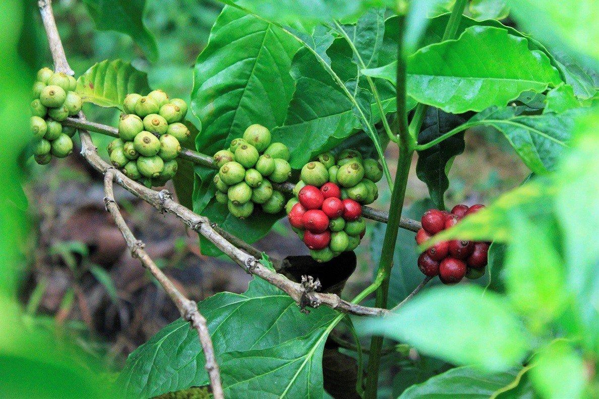 Coorg Coffee