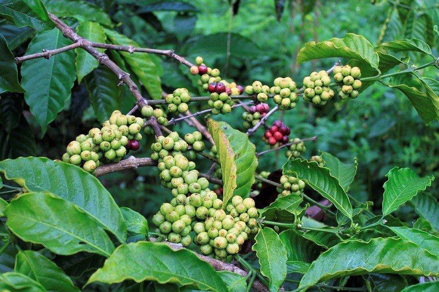 Madikeri Coffee Estate