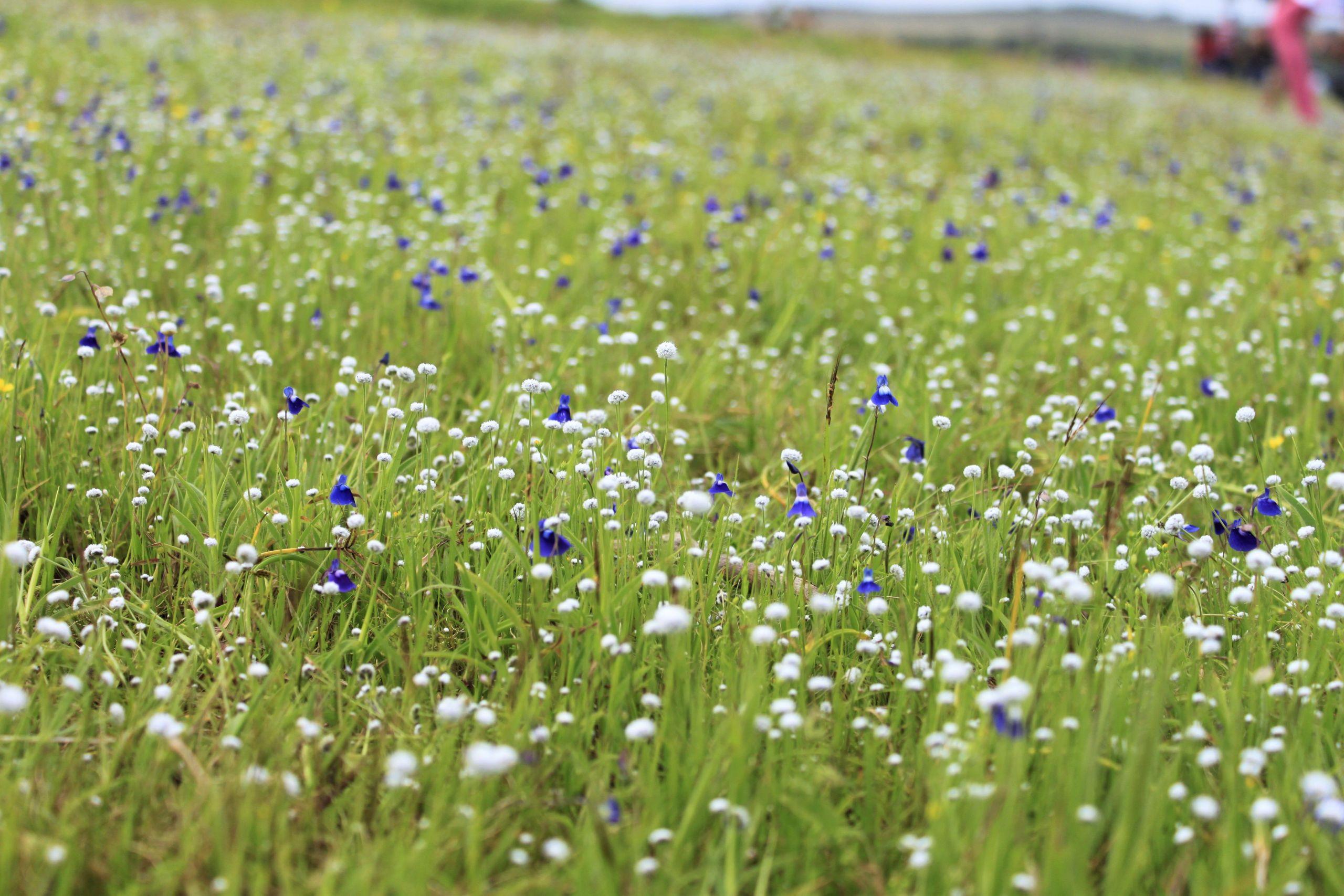Kaas flowers