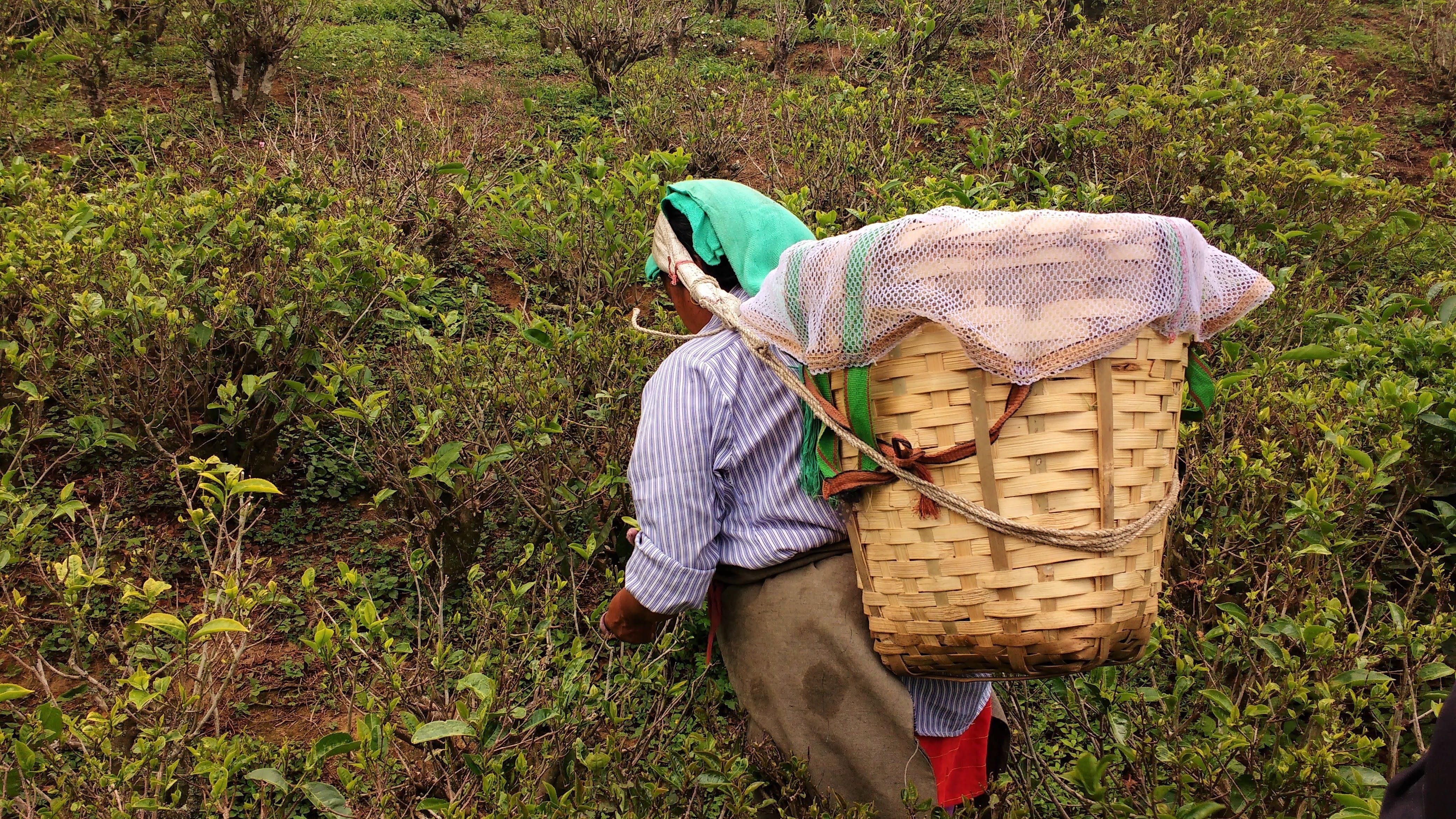 Darjeeling Tea worker