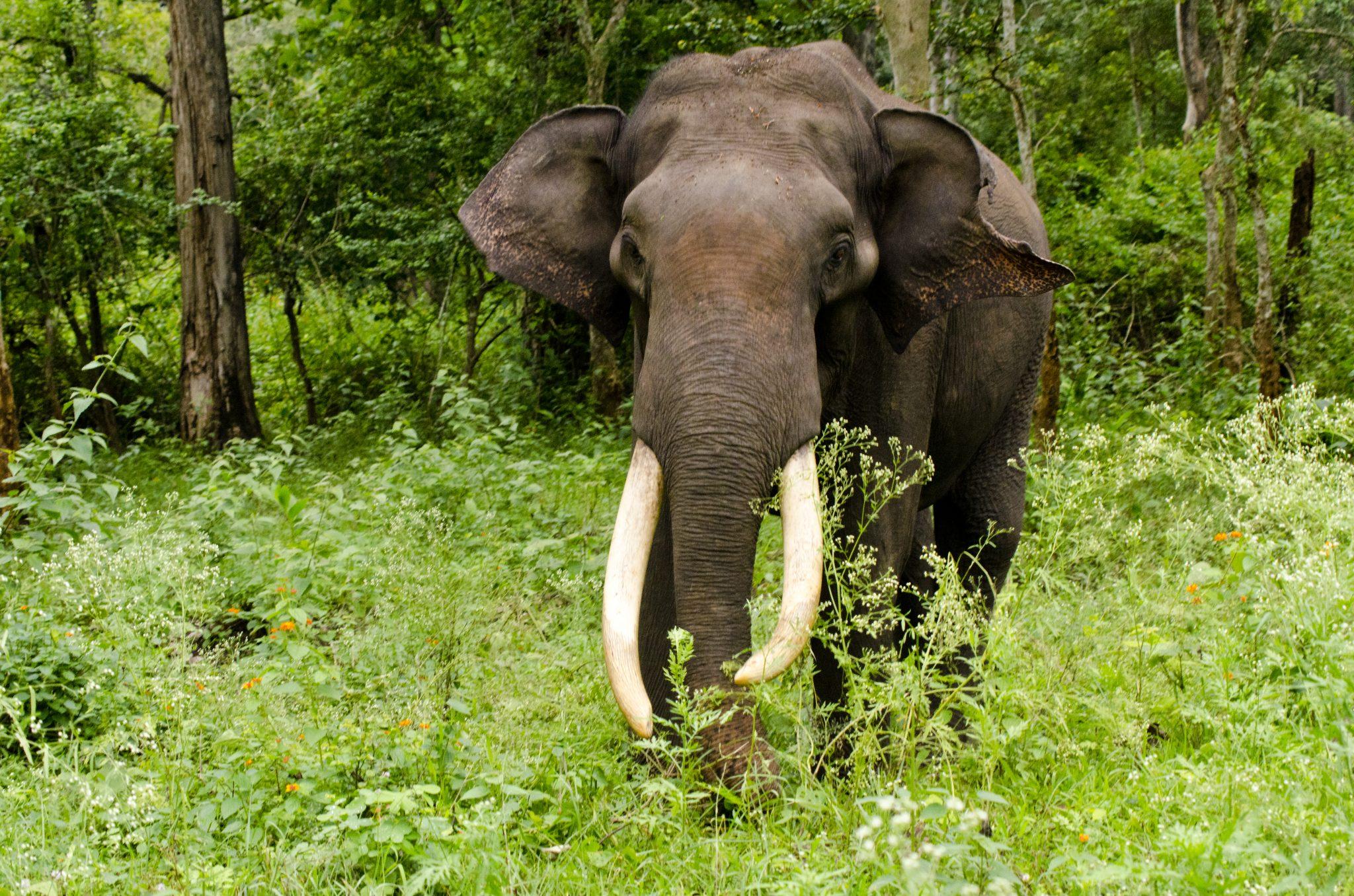 Asiatic elephant in Sri Lanka
