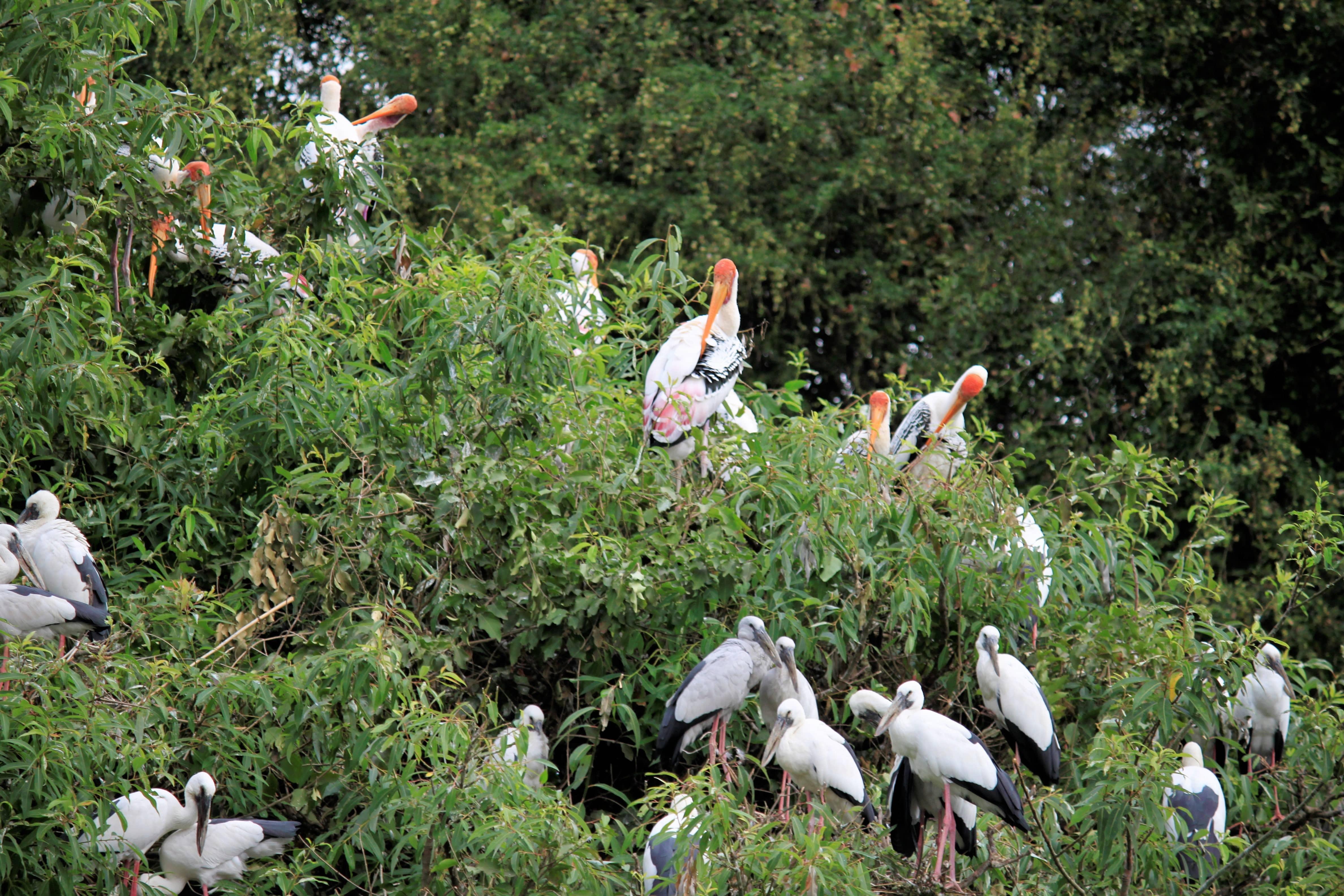 Ranganathitt Migratory Birds
