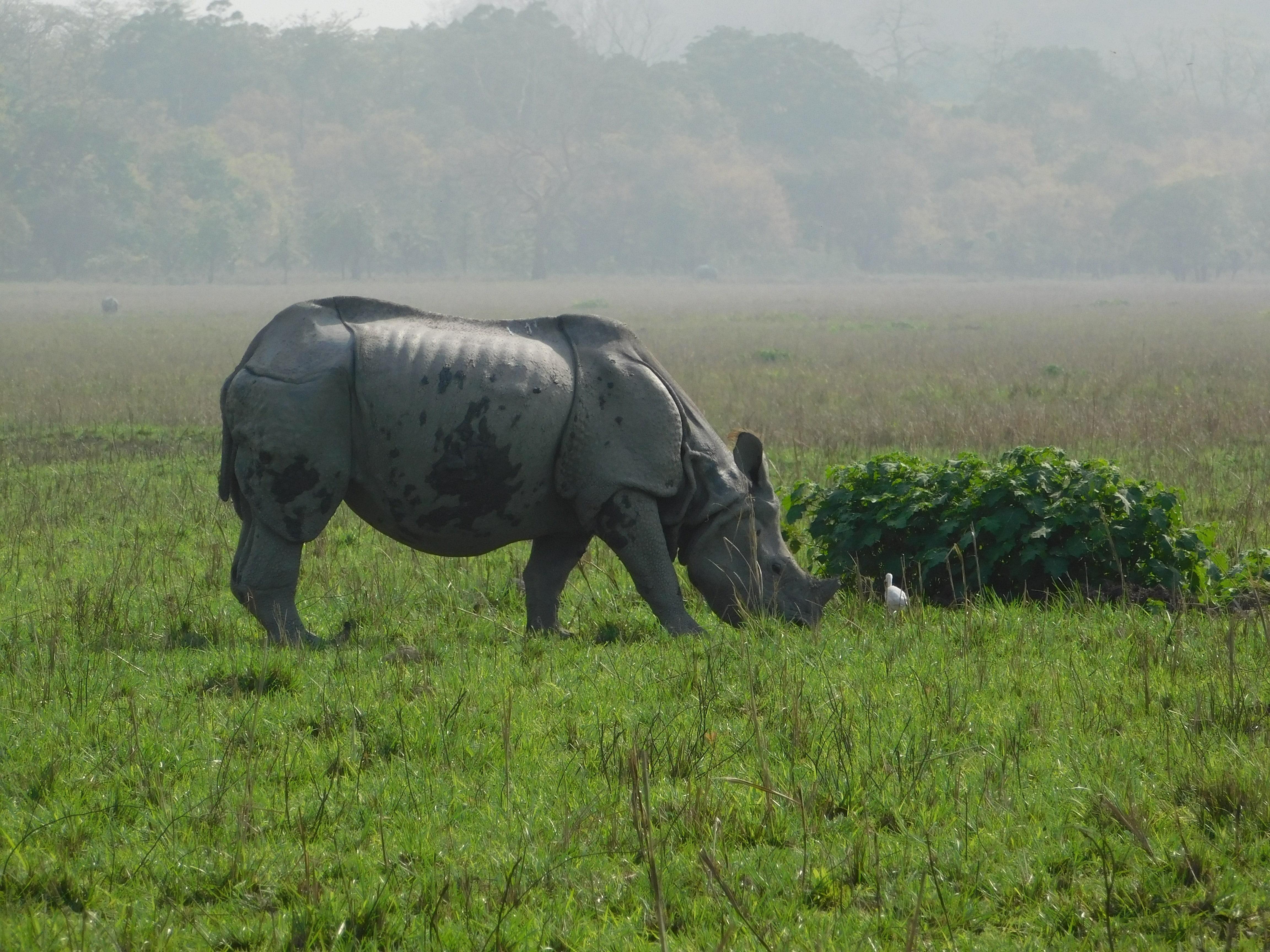 One-horn rhino, kaziranga, assam, north-east india, holiday