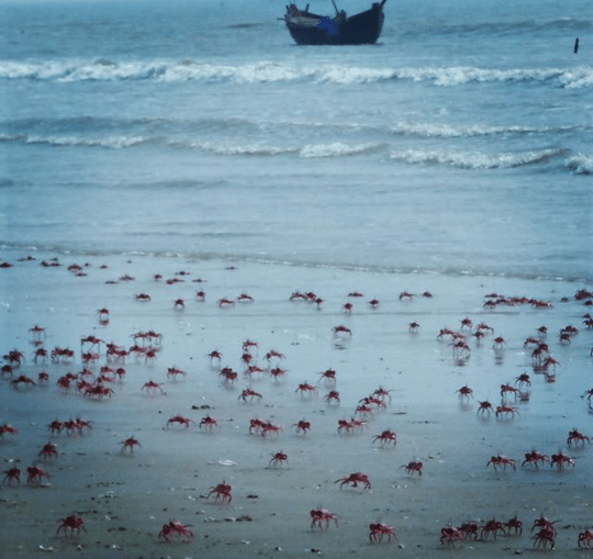 mandarmani, sea, india, west bengal, red crabs