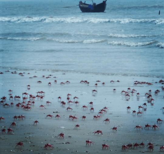 mandarmani, sea, india, west bengal, red crabs