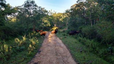 Bandipur Bison
