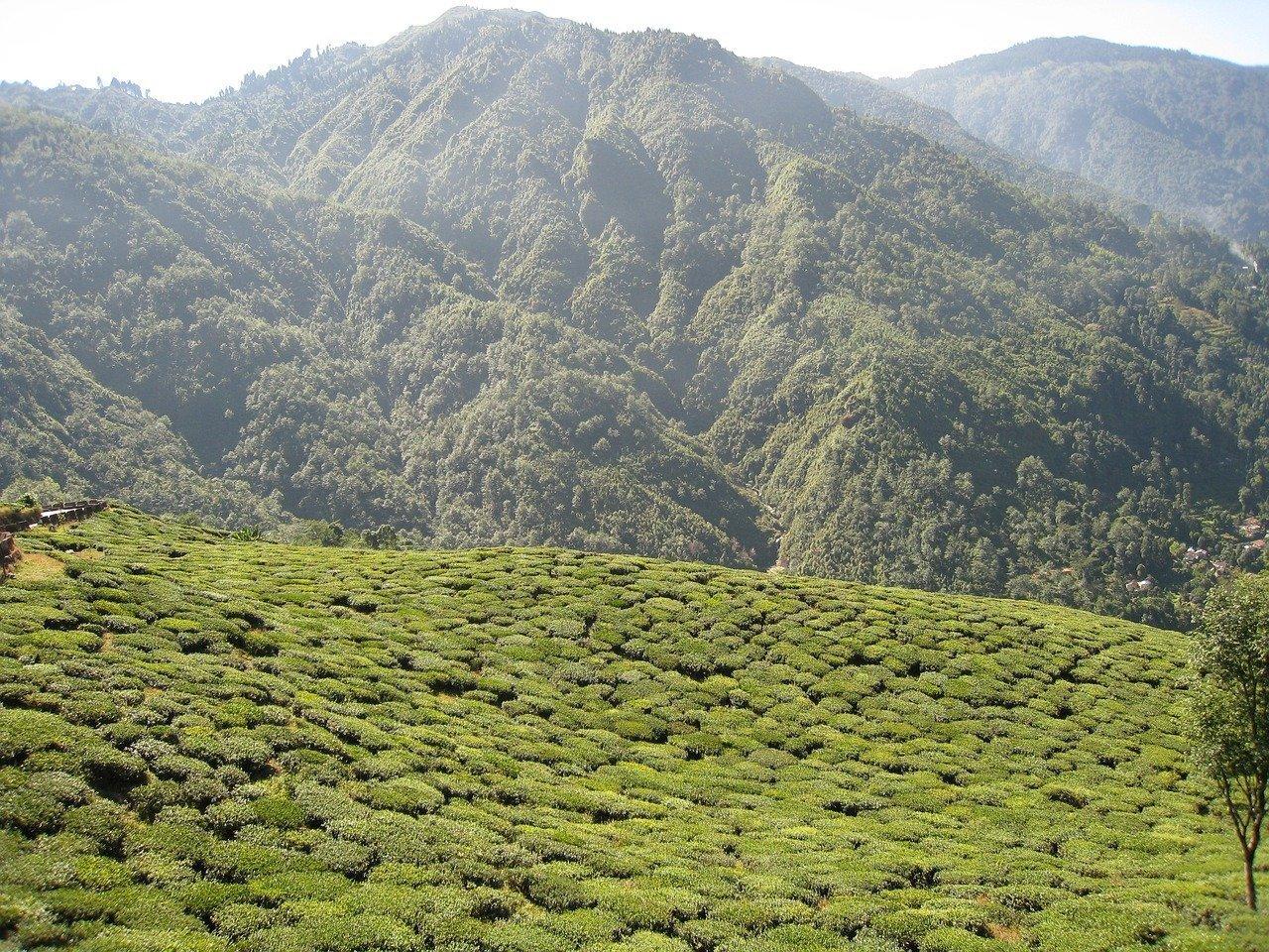Darjeeling tea-garden
