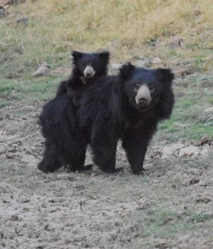Ranthambore bear