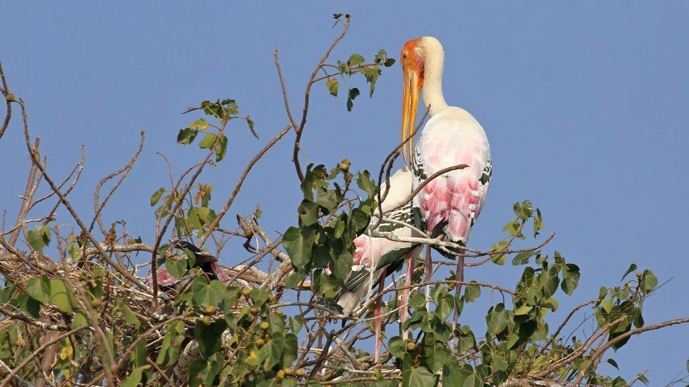 Painted Stork in Kokkare Bellur