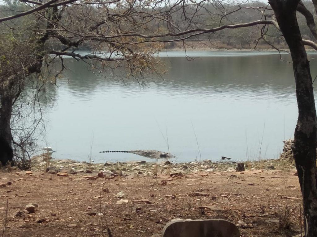 Crocodile at Madhav National Park