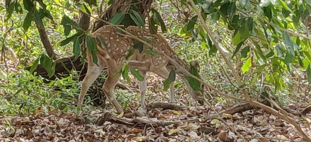 Deer in Madhavnagar National Park