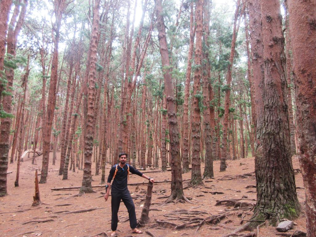 Pine_Forest Kodaikanal